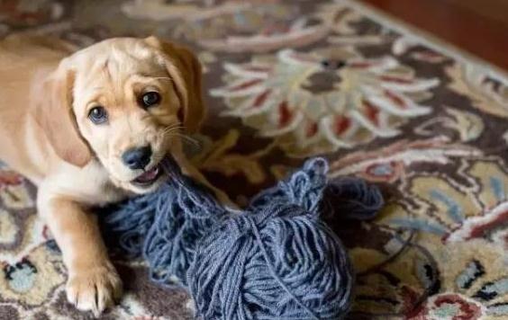 狗狗乱扒乱咬家具怎么办?狗狗不乱扒客人的方法